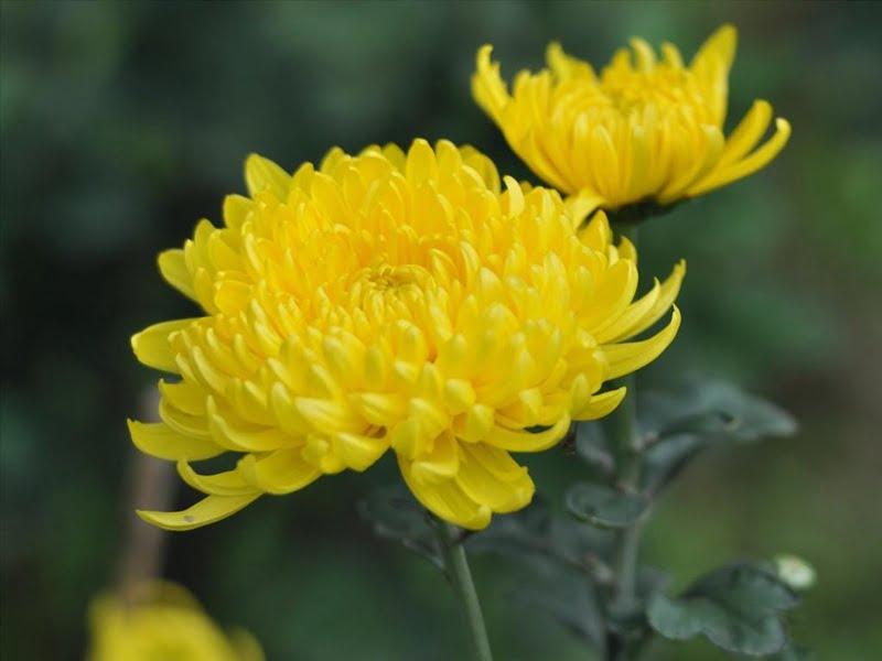 Cách cắm hoa cúc 5 bông