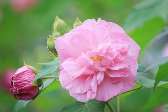 Công dụng và sự phân bố hoa