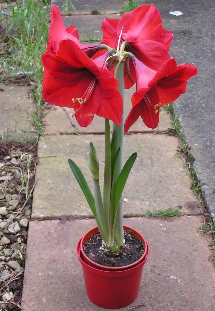 ý nghĩa của hoa huệ đỏ tạm biệt