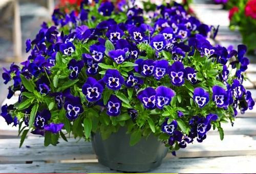 Các đặc tính thực vật của hoa Pansy