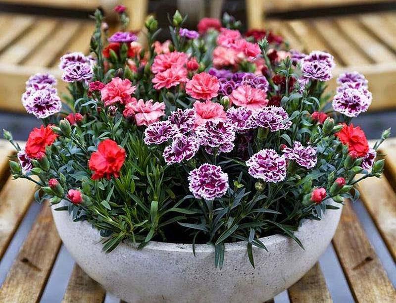 Đặc điểm của hoa phăng