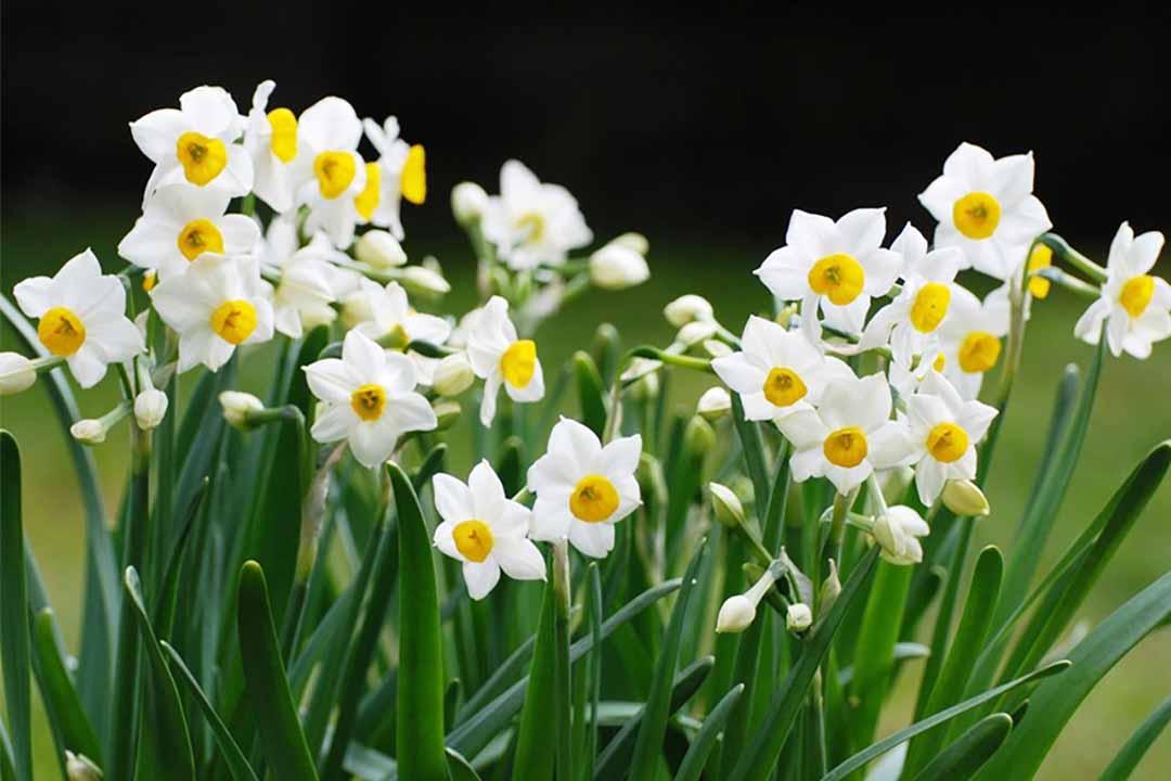 Ý nghĩa màu sắc hoa thủy tiên