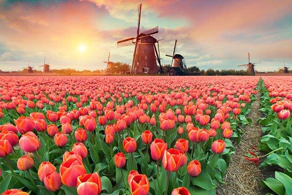 ý nghĩa hoa tulip qua vẻ đẹp