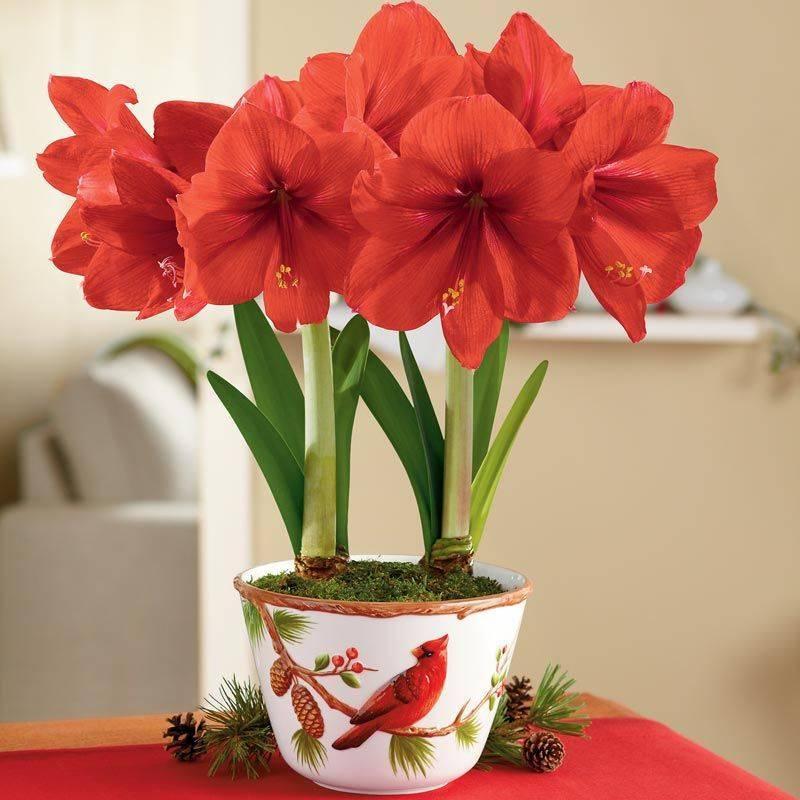 Ý nghĩa hoa cung nhân thảo theo màu