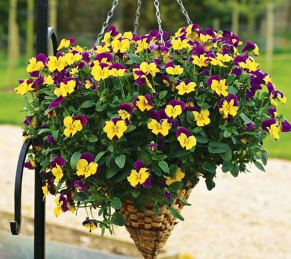 Ý nghĩa hoa Pansy theo màu sắc