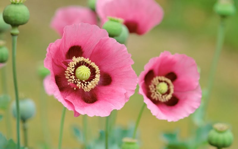 Đặc điểm thực vật cây hoa anh túc