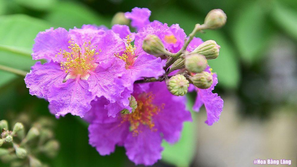 Ý nghĩa hoa bằng lăng