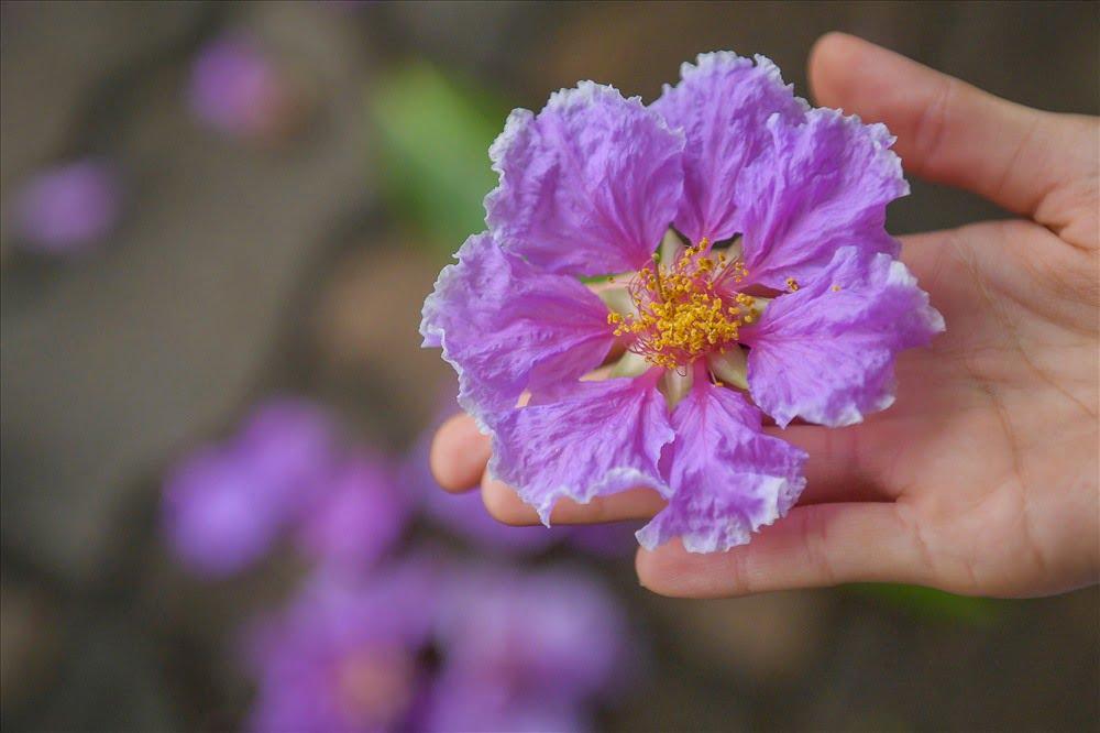 ỹ nghĩa hoa bằng lăng
