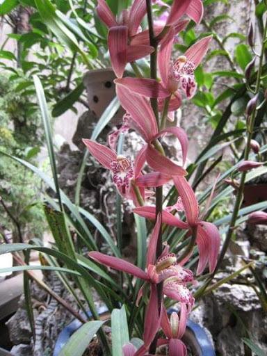 Phong lan ma