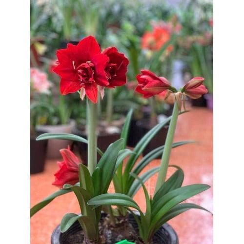 Ý nghĩa hoa huệ đỏ