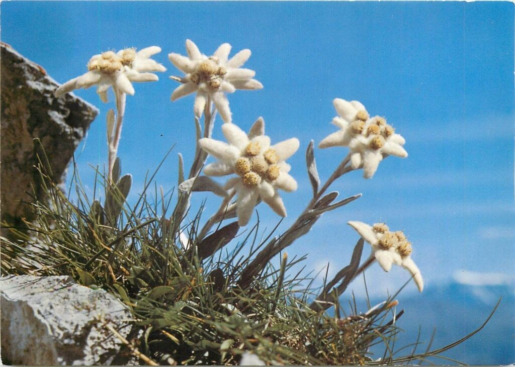 Ý nghĩa hoa nhung tuyết theo từ nguyên