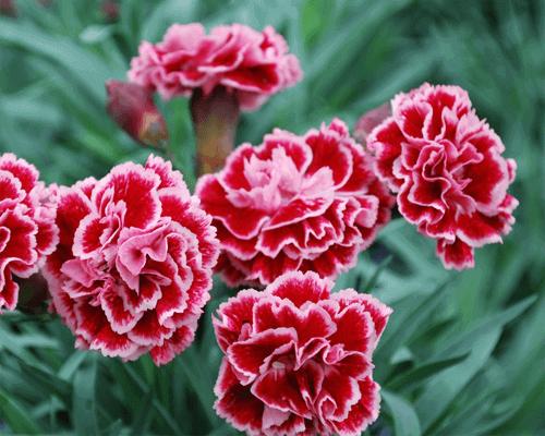 Vẻ đẹp - Ý nghĩa của hoa phăng
