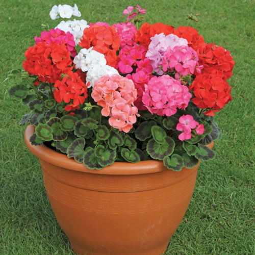 hoa lá sồi: đại diện cho một tình bạn chân thành