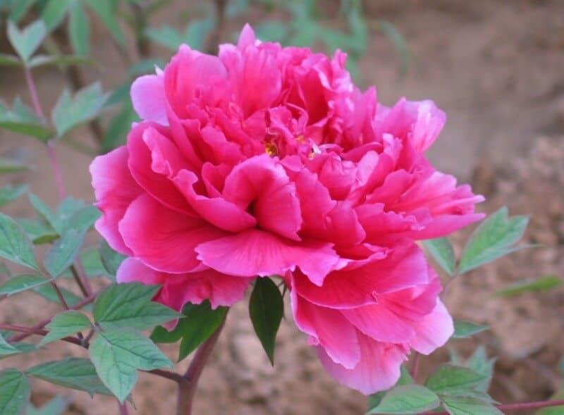 Đặc điểm của hoa phù dung