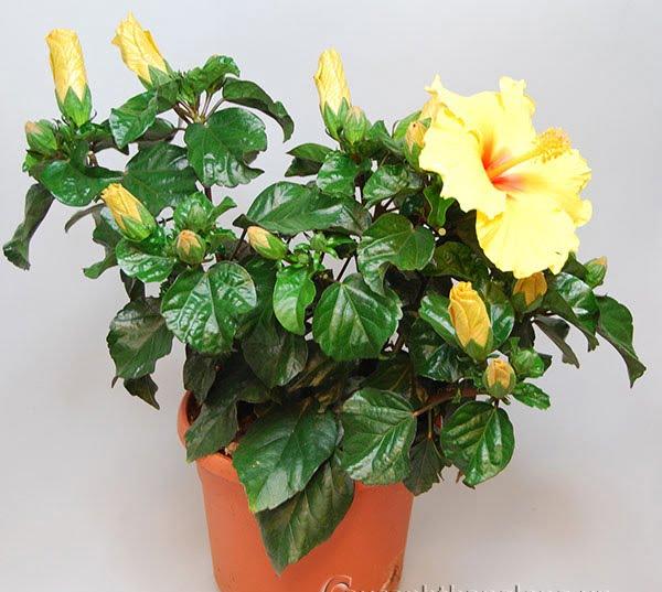 Hoa râm bụt - Hoa may mắn