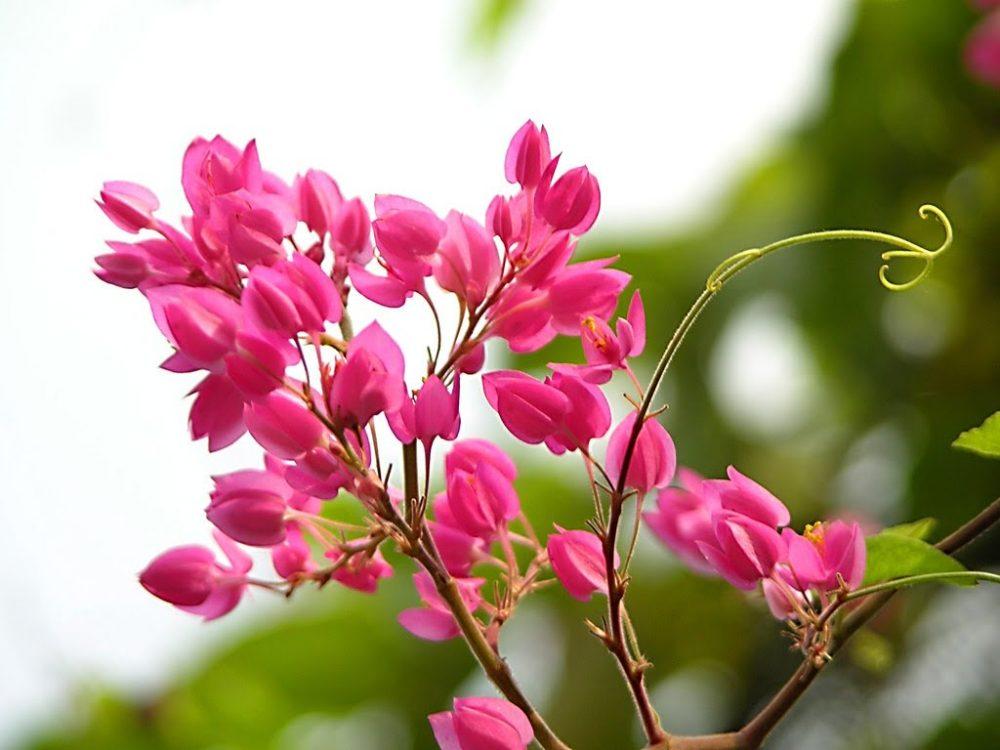 Ý nghĩa hoa Tigon