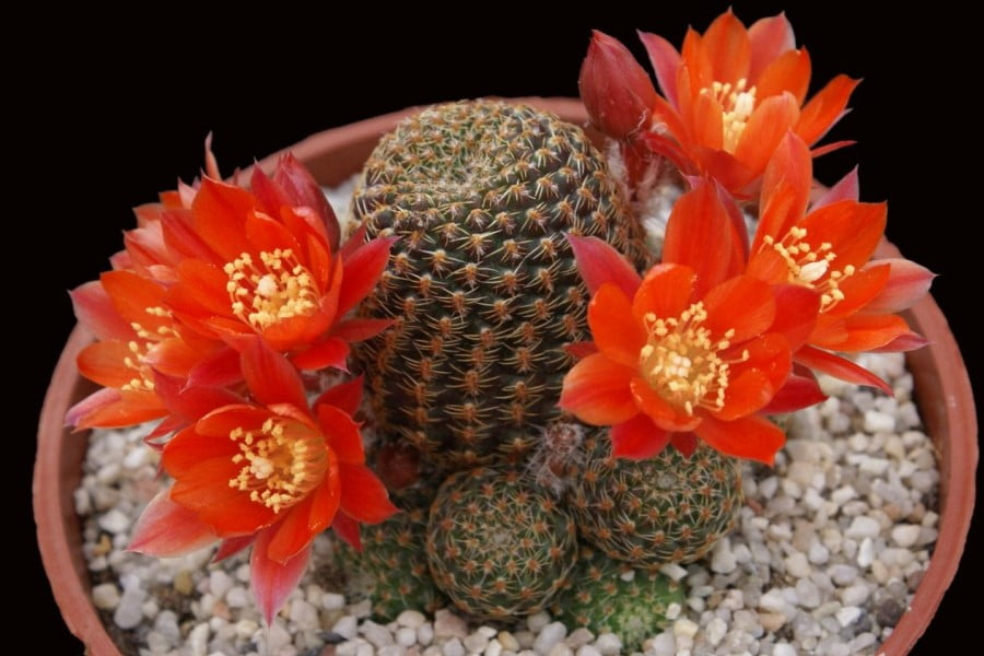 Hoa xương rồng - 6 loài hoa