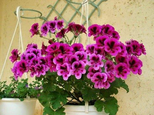 ý nghĩa hoa phong lữ dựa theo màu sắc