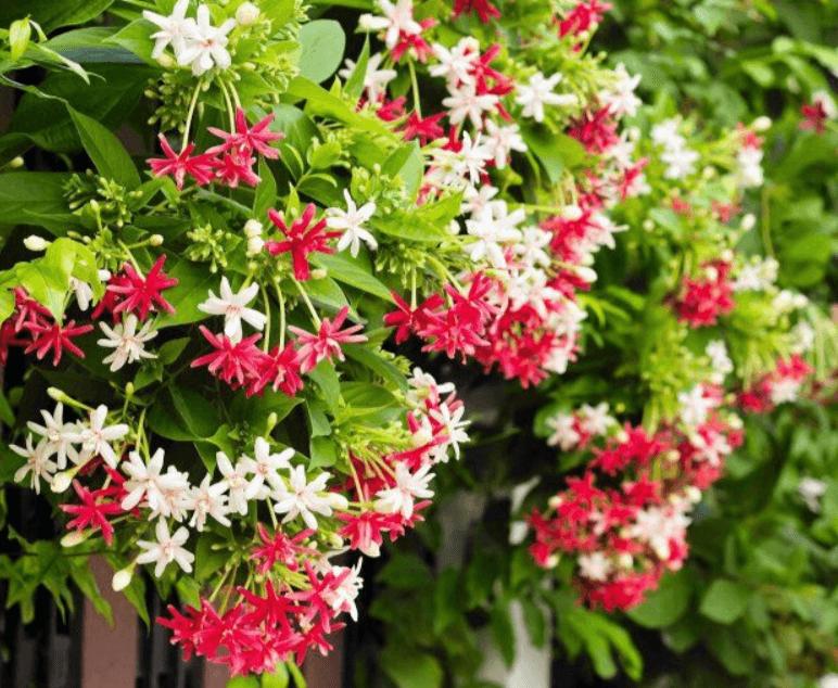 Ý nghĩa của hoa giun (hoa sử quân tử)