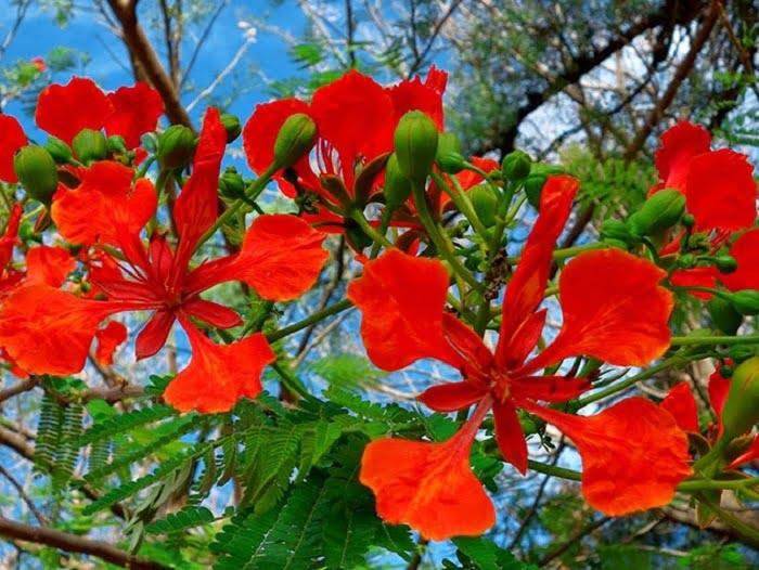 Ý nghĩa hoa phượng