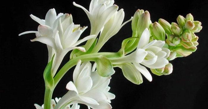 tác dụng của hoa huệ trắng
