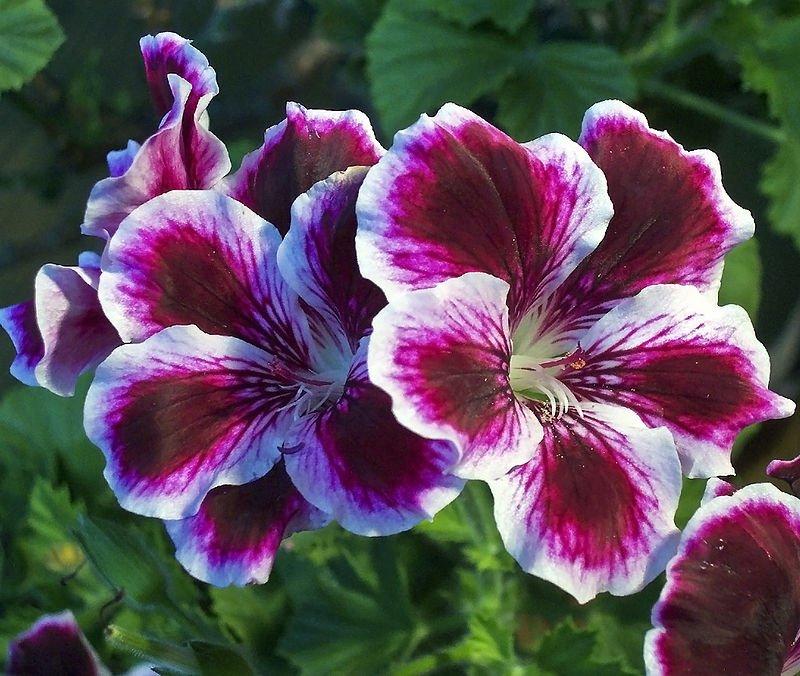 Hoa thiên trúc quỳ - Hoa may mắn