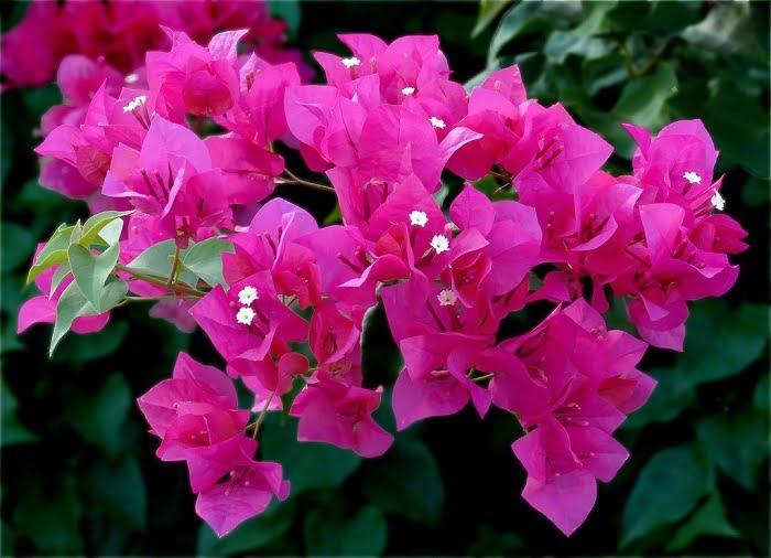 Các loại hoa giấy