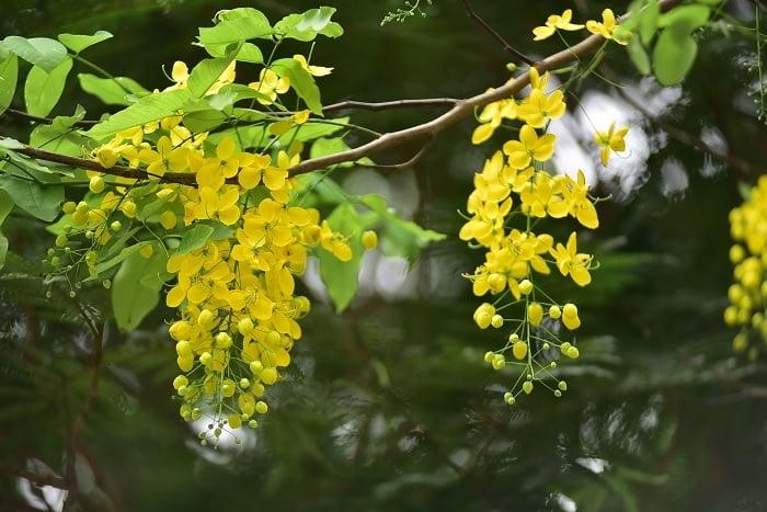 Một số thông tin về hoa Hoàng Yến