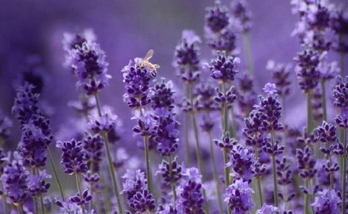 hoa oải hương có một số ý nghĩa chung