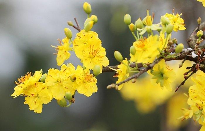 Mai tứ quý - Các loại hoa mai