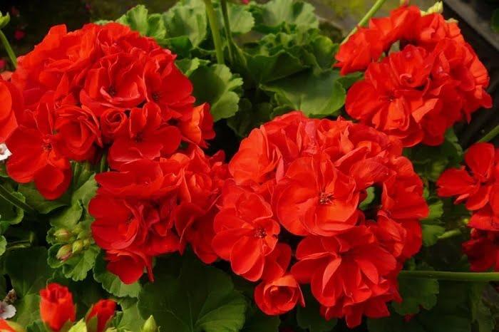 một số thông tin về hoa phong lữ