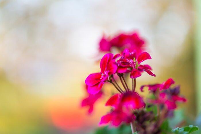 Giới thiệu vài nét về ý nghĩa hoa phong lữ