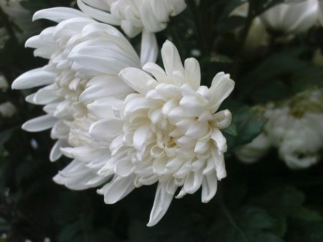 Hoa cúc đám tang