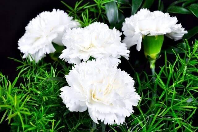 Cẩm chướng trắng.