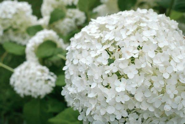 Hoa cẩm tú cầu trong tang lễ
