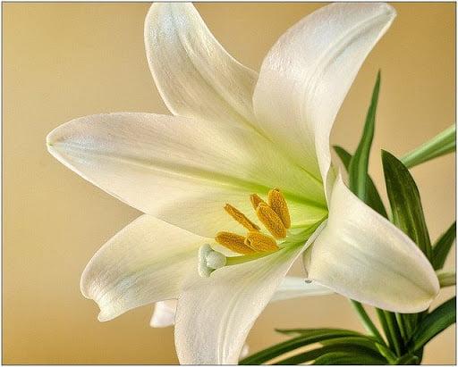 Hoa ly.
