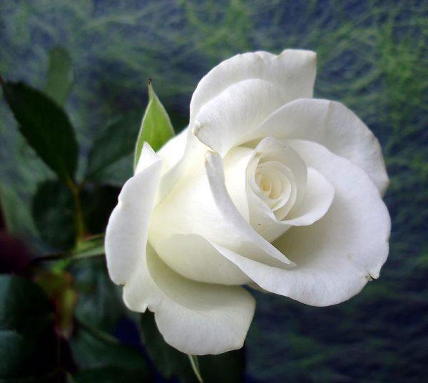 Hoa hồng trắng.