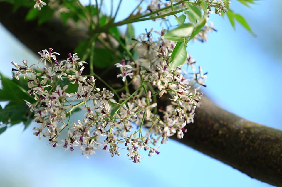 Một số thông tin về hoa xoan