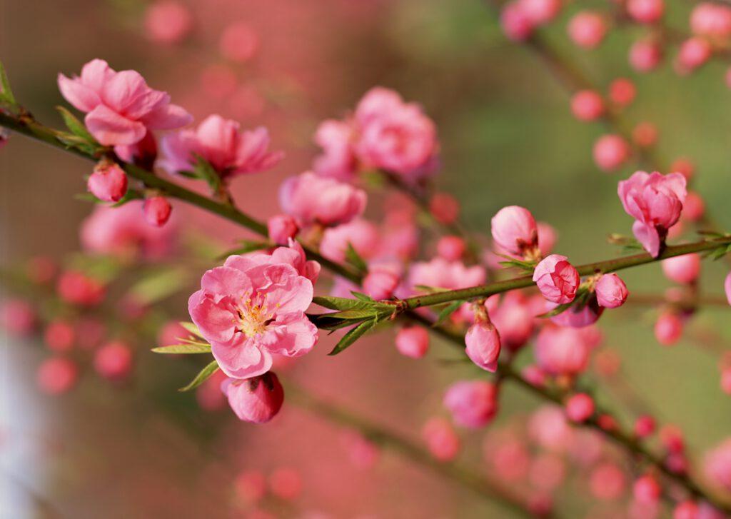 Cây hoa đào