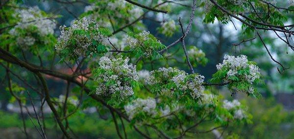 Một cây xoan có thể sống đến tận 50 năm