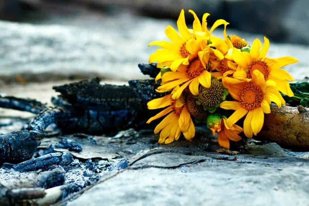 Ý nghĩa của hoa dã quỳ