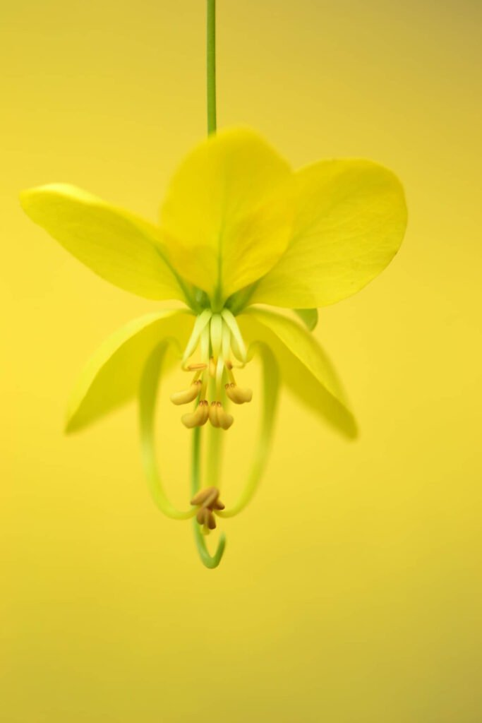 Hoa muồng hoàng yến có tổng cộng 5 cánh