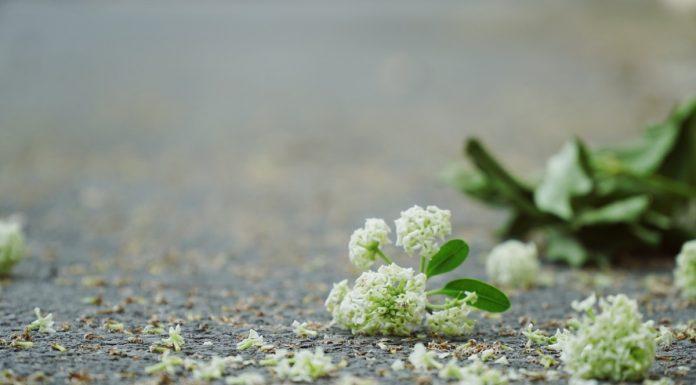 Loài hoa tình yêu này rất ngọt ngào và nồng cháy