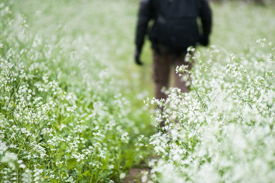 Hoa cải được mọc thành từng chùm nhỏ