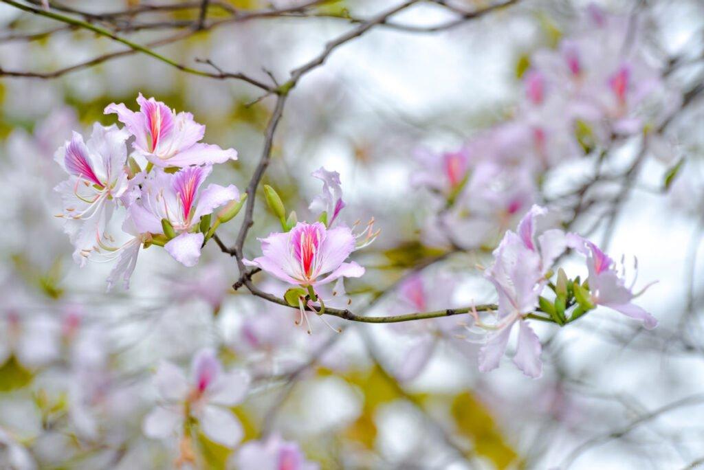 Giới thiệu chung về hoa ban