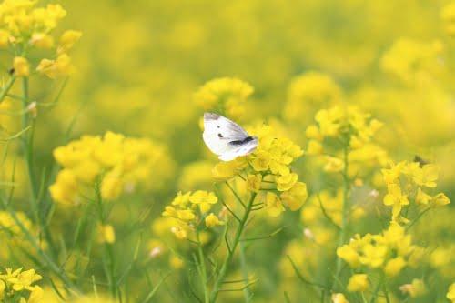 Thông tin cụ thể về hoa cải vàng