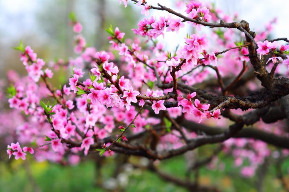 Hoa đào và nền văn hóa phương Đông
