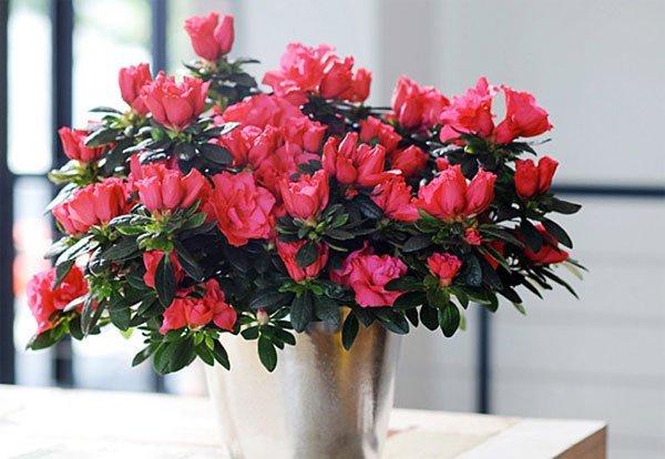 Một số thông tin cần thiết về hoa đỗ quyên