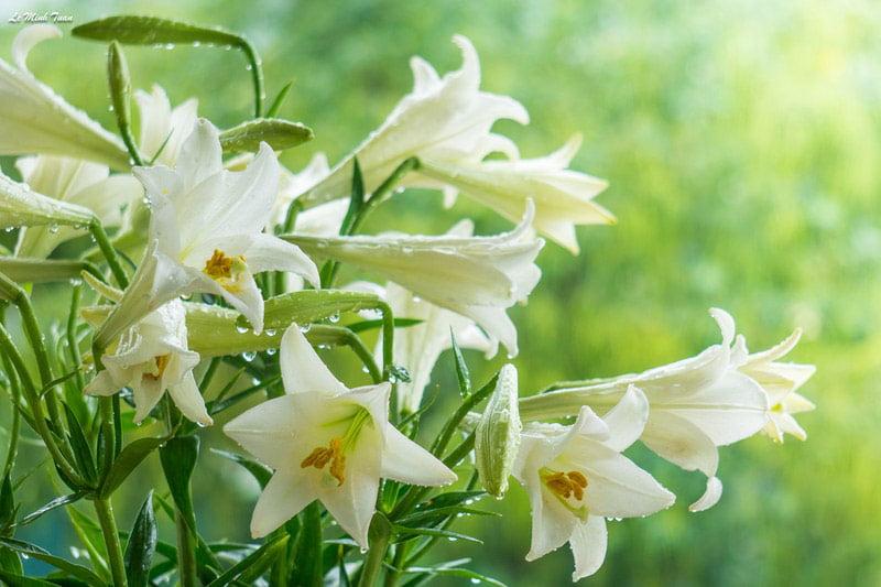Hoa loa kèn và những đặc điểm nổi bật