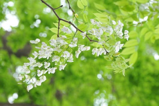 Đặc điểm nổi bật của hoa sưa